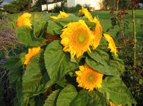 teddy bear sunflowers 2 518px